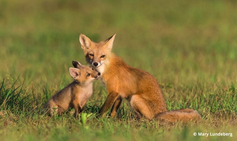 Photographing Foxes
