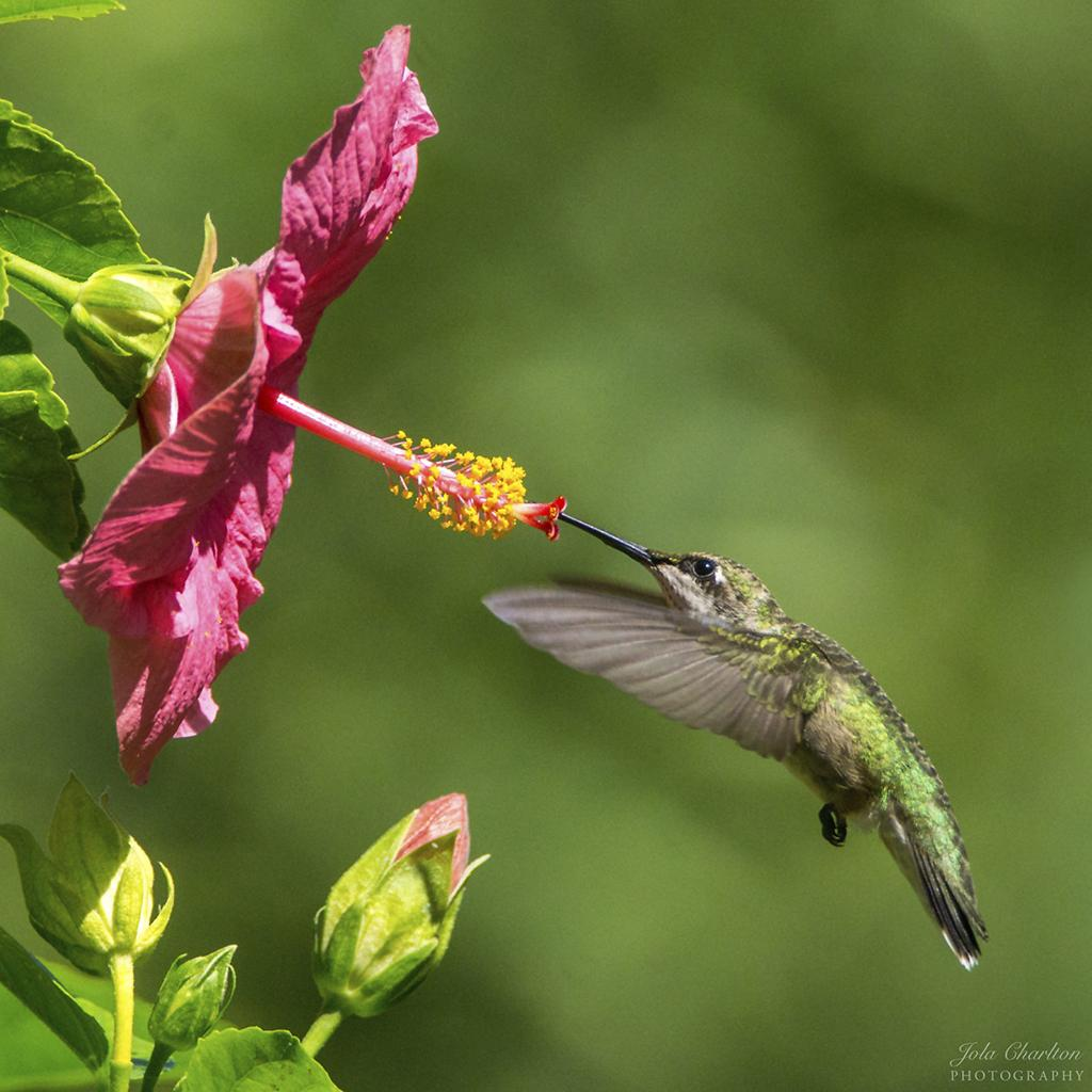 """Today's Photo Of The Day is """"Hummingbird and Hibiscus"""" by Jola Charlton. Location: Green Cove Springs, Florida."""