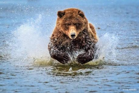 """Today's Photo Of The Day is """"Bear chasing after breakfast"""" by Lew Abulafia. Location: Lake Clark National Park & Preserve, Alaska."""