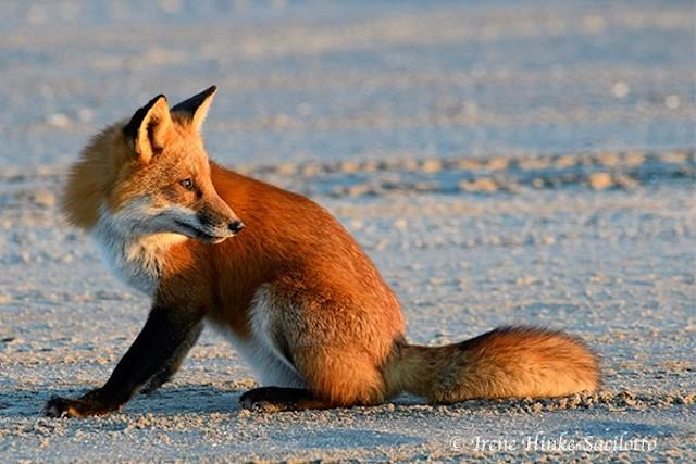 Red fox resting on beach at Chincoteague NWR, VA.