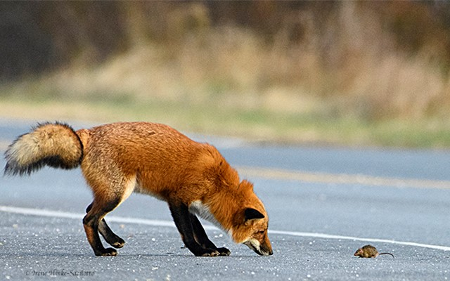 Red fox standoff with mouse, Chincoteague NWR, VA.