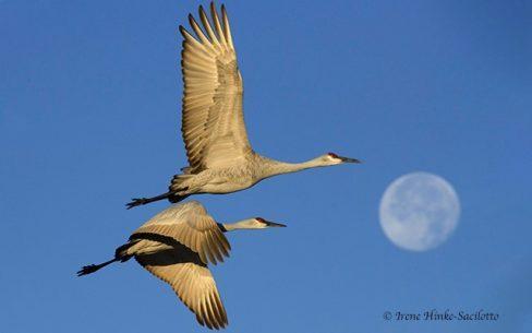 Sandhill Cranes flying. Moon setting over Bosque del Apache NWR, NM.