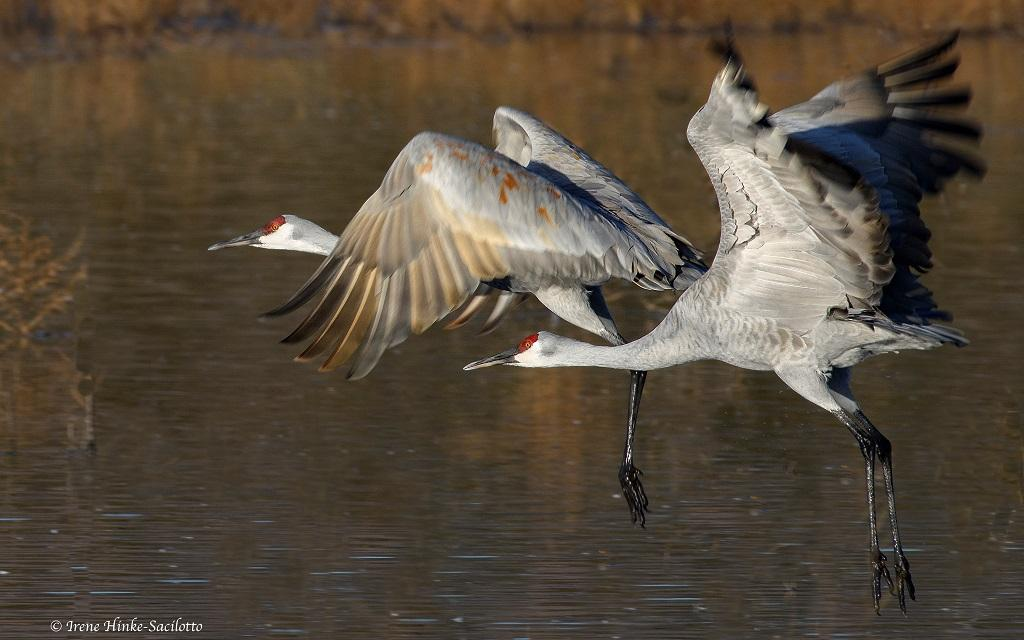 Sandhill Cranes taking off from farm pond.