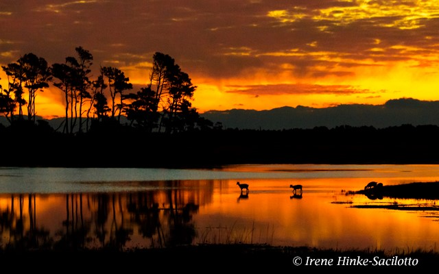 Sunrise with Sika Deer in water.