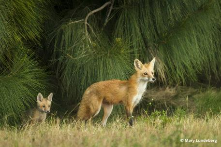 Photographing foxes, a vixen and her kit