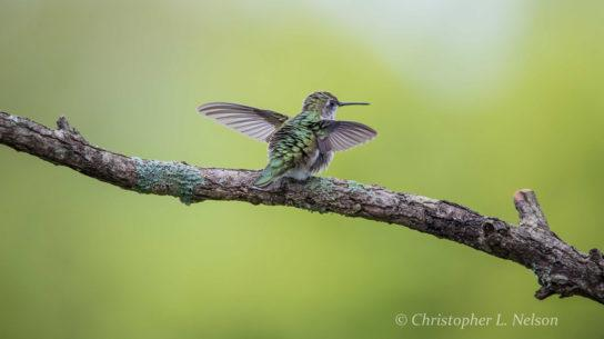 "Today's Photo Of The Day is ""Hummingbird Yoga"" by Christopher Nelson. Location: Cookeville, Tennessee."