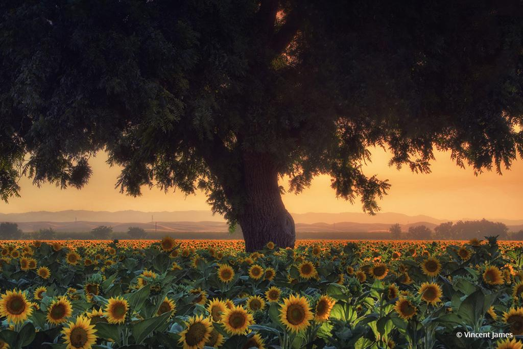 """Today's Photo Of The Day is """"Summer Blooms"""" by Vincent James. Location: Woodland, California."""