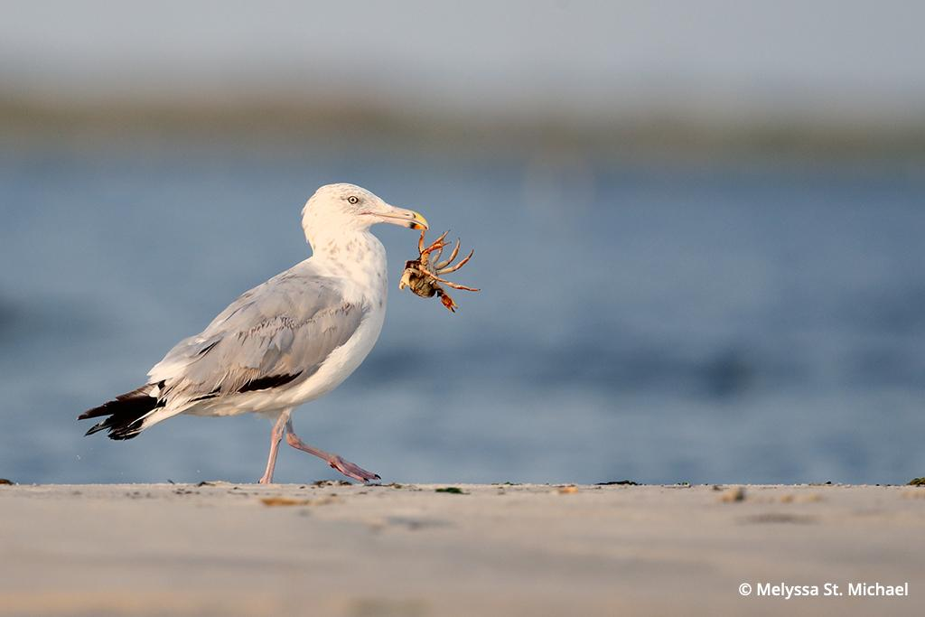 Photographing shorebirds, adult herring gull