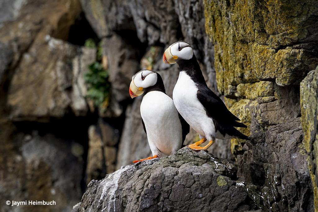 Horned puffins near Katmai National Park