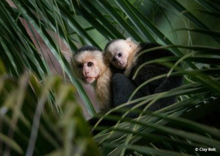 White-faced capuchin in Latin America