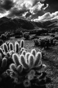 """Today's Photo Of The Day is """"Cholla in the Sun"""" by Laura Roberts. Location: Joshua Tree National Park, California."""