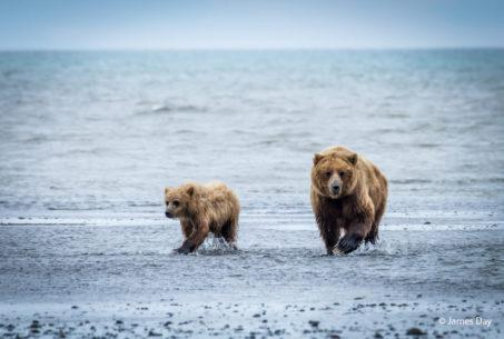 "Today's Photo Of The Day is ""Mother Bear and Cub"" by James Day. Location: Lake Clark National Park, Alaska."