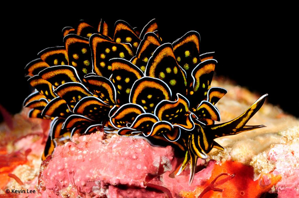 Photographing marine biology: Cyerce nigricans