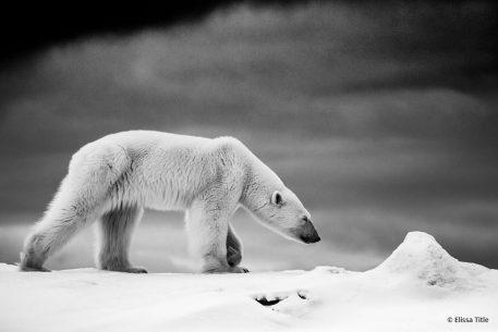 "Today's Photo Of The Day is ""Polar Bear in Black and White"" by Elissa Title. Location: Svalbard, Norway."