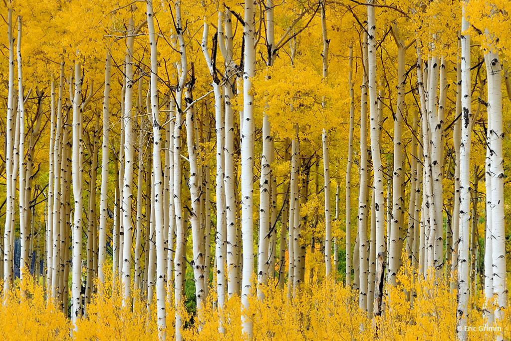 "Today's Photo Of The Day is ""Aspen Dance"" by Eric Grimm. Location: Silverton, Colorado."