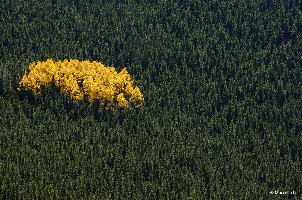 "Today's Photo Of The Day is ""Aspen Gold"" by Marcella Li. Location: Arapaho National Forest, Colorado."