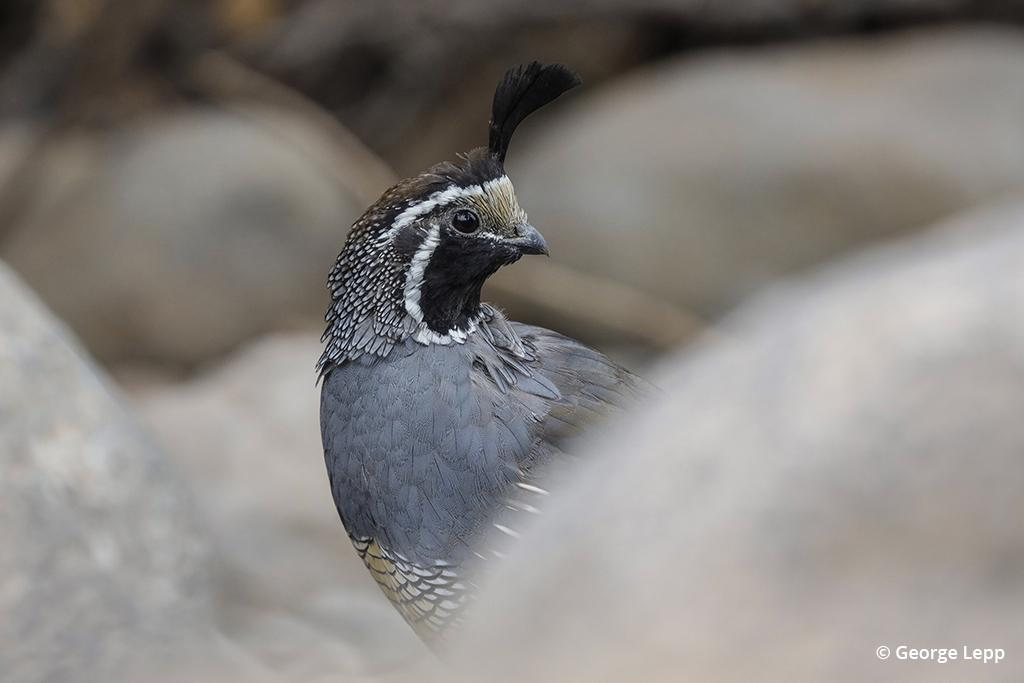California quail photographed by George Lepp with the Canon EOS R
