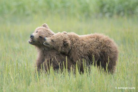 Brown bear cubs, photo by Ashleigh Scully