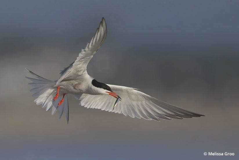 Photographing birds in flight: a common tern