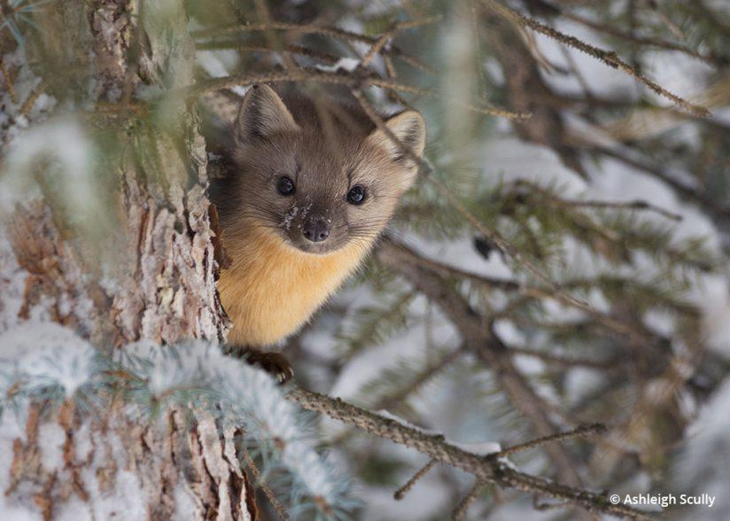 American marten photo by Ashleigh Scully