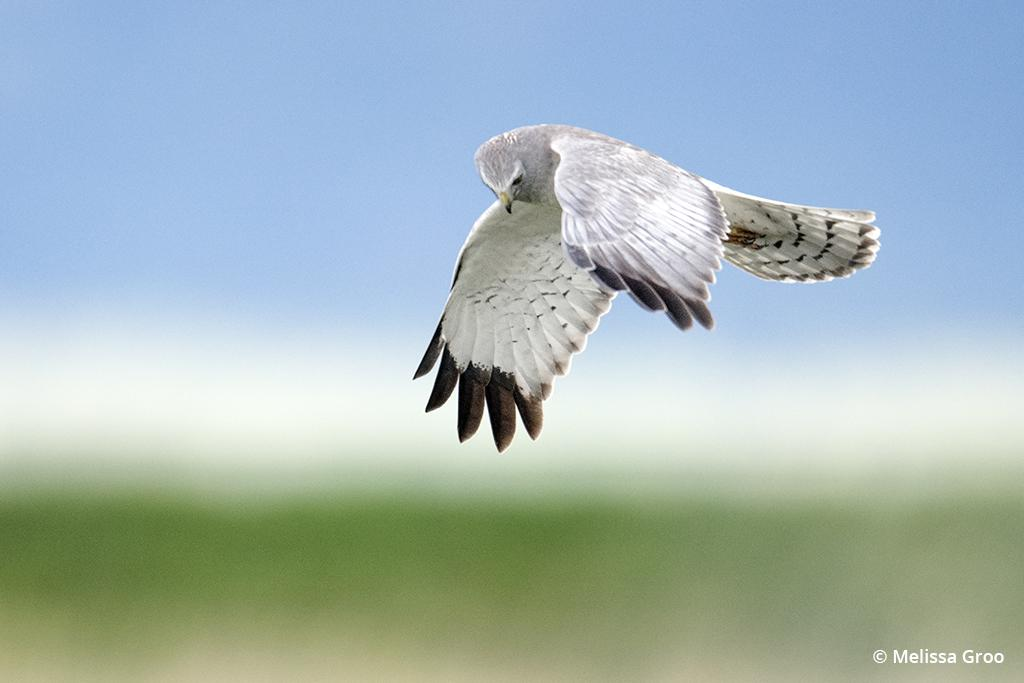 Photographing birds in flight: northern harrier hunting