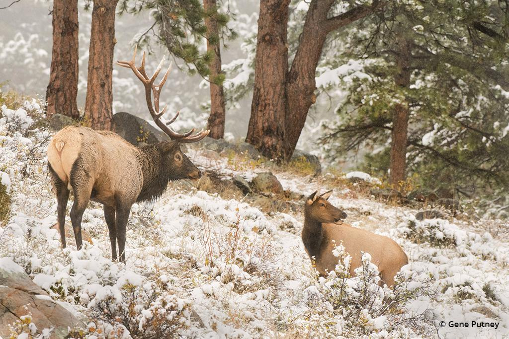 "Today's Photo Of The Day is ""Rocky Mountain Bull & Cow Elk"" by Gene Putney of Putney Nature Images. Location: Rocky Mountain National Park, Colorado."