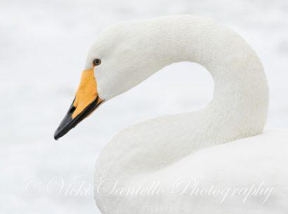 "Today's Photo Of The Day is ""Ode to Winter: Whooper Swan"" by Vicki Santello. Location: Lake Kussharo, Hokkaido, Japan."