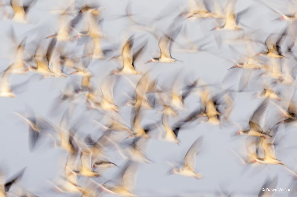 """Today's Photo Of The Day is """"Black Skimmers at Grand Isle"""" by Dawn Wilson. Location: Grand Isle State Park, Louisiana."""