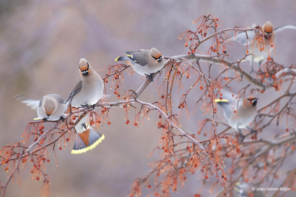 "Today's Photo Of The Day is ""Bohemian Waxwing"" by Jean-Simon Bégin."