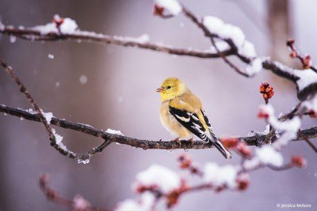 Goldfinch With Snow And Buds
