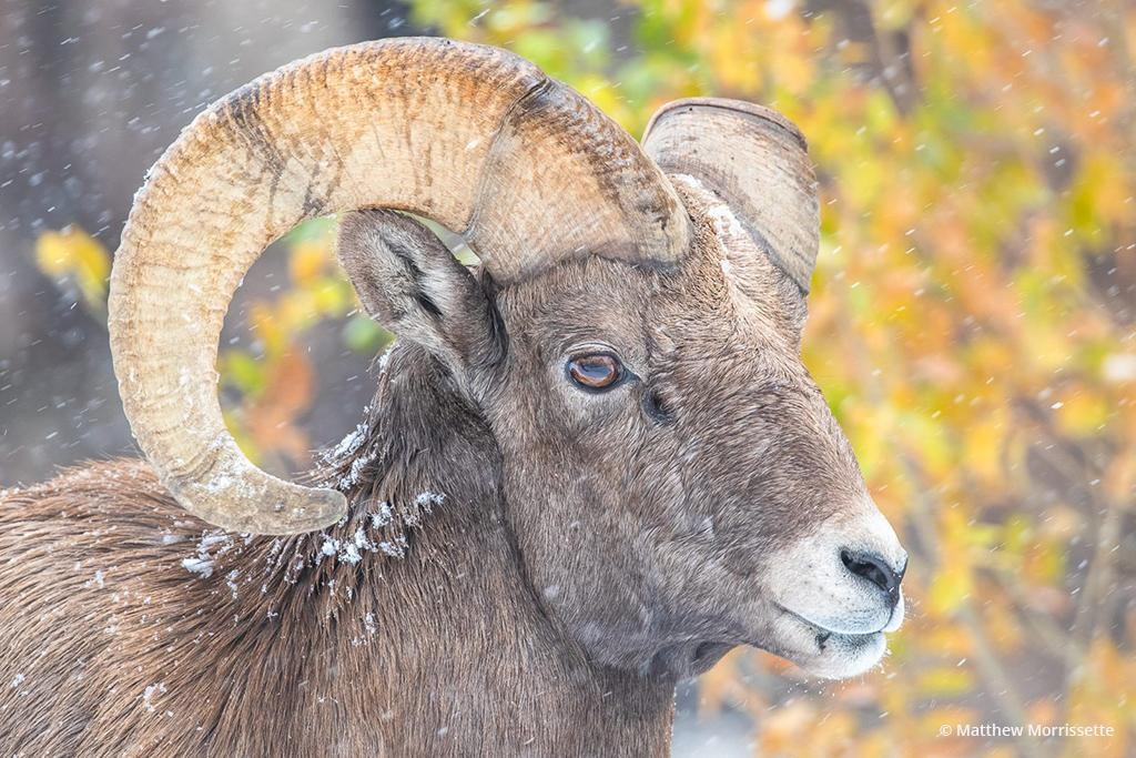 "Today's Photo Of The Day is ""Bighorn Focus"" by Matthew Morrissette. Location: Waterton Canyon, Colorado."