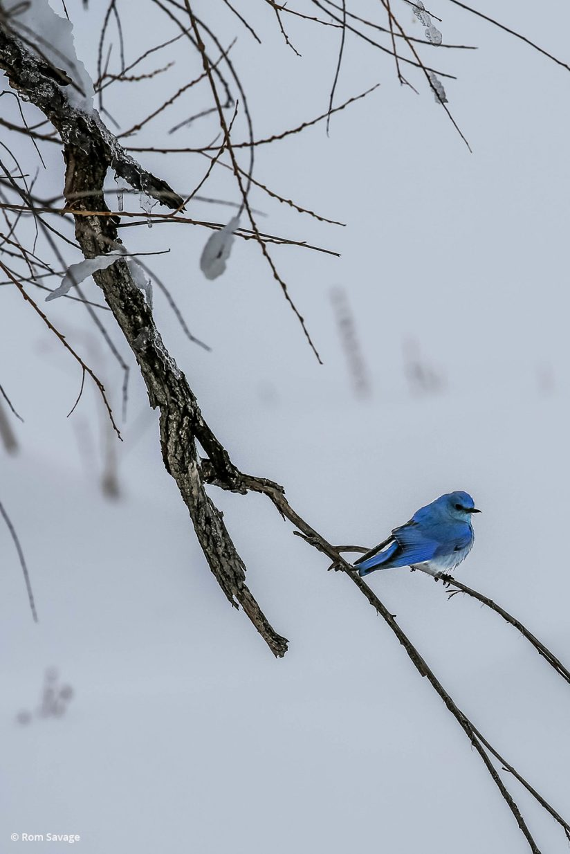 "Today's Photo Of The Day is ""Blue Bird"" by Rom Savage. Location: Colorado."
