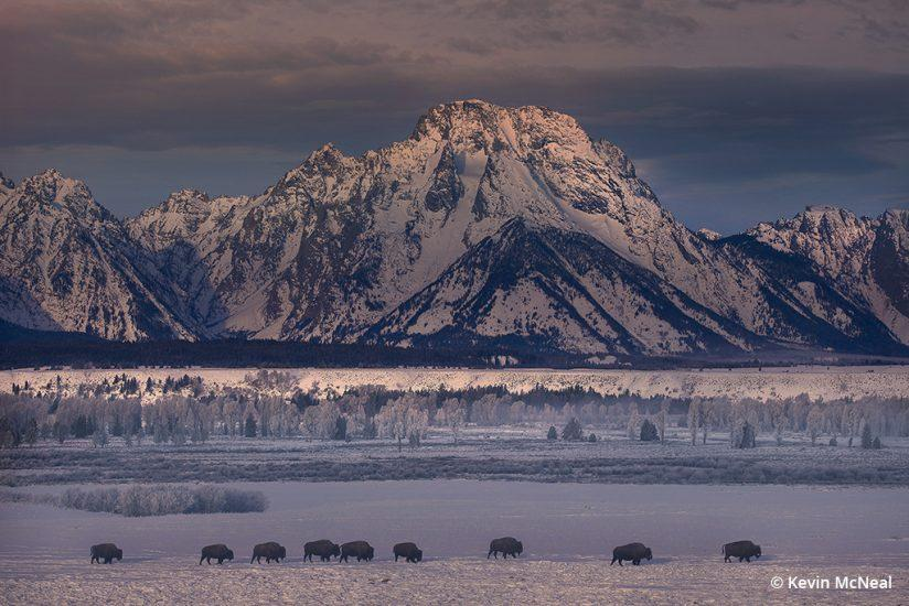 Winter photography of bison in Grand Teton