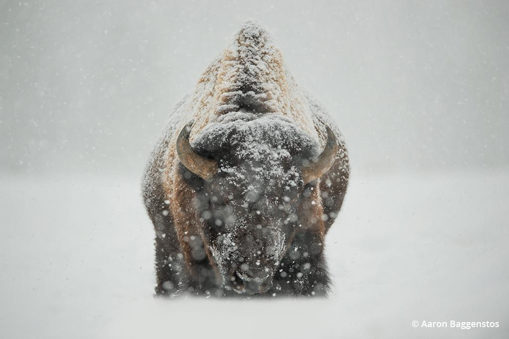 winter wildlife photography, bison in the snow