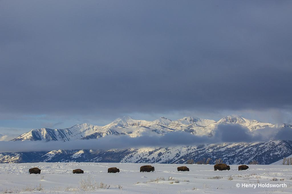 Winter wildlife Grand Teton bison herd