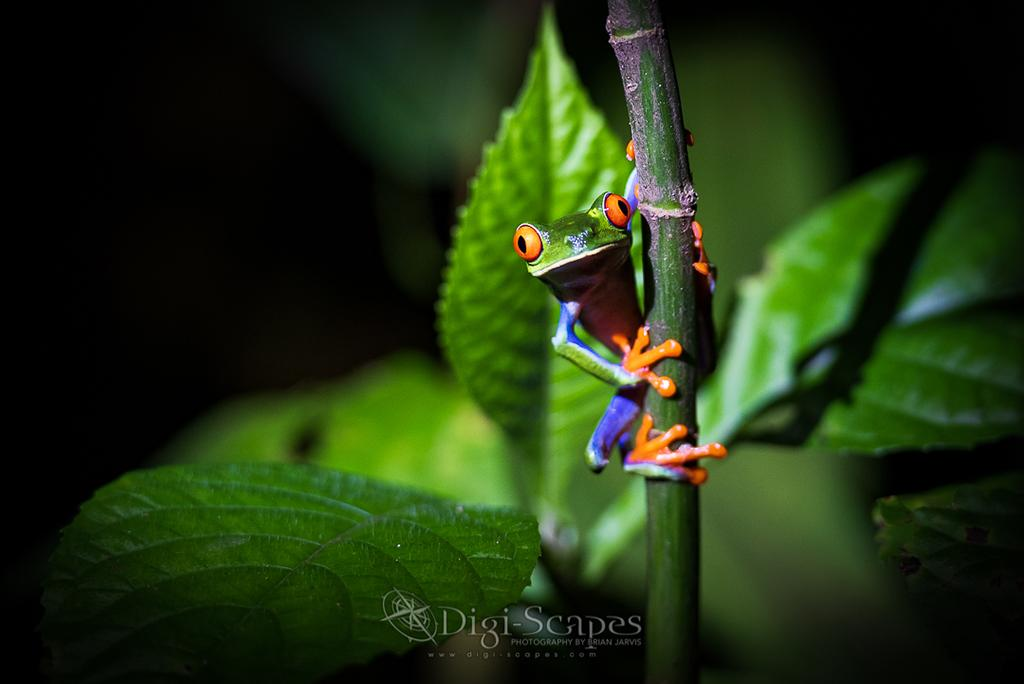 "Today's Photo Of The Day is ""Red Eyed Tree Frog"" by Brian Jarvis. Location: Arenal Volcano National Park, Costa Rica."