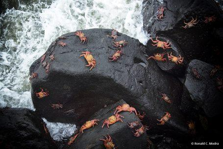 Sally Lightfoot Crabs, Galapagos Islands