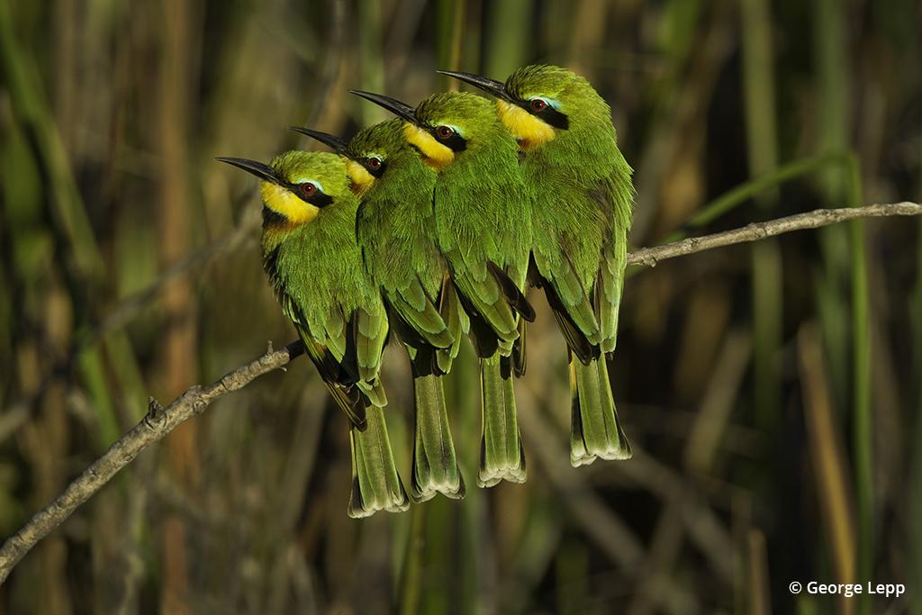 Bee-eaters, photo by George Lepp