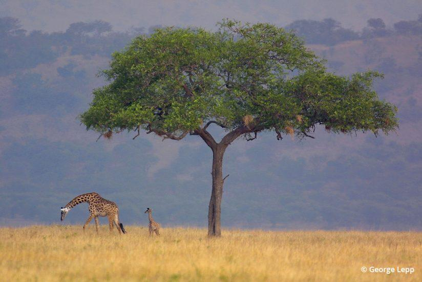 Photo of giraffes by George Lepp