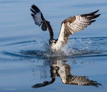 Ospreys can dive to catch fish. Their feathers shed water easily and their talons specifically designed to be able to grab and fly with their catch.