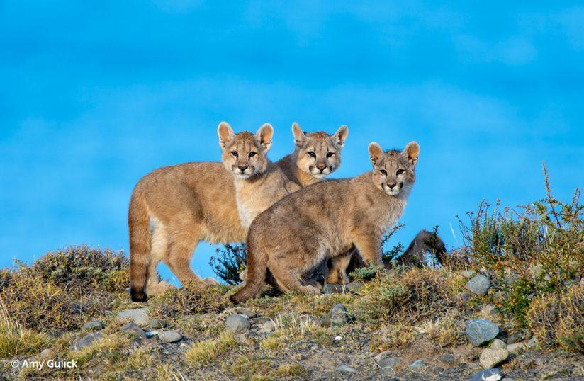 In The Presence Of Pumas