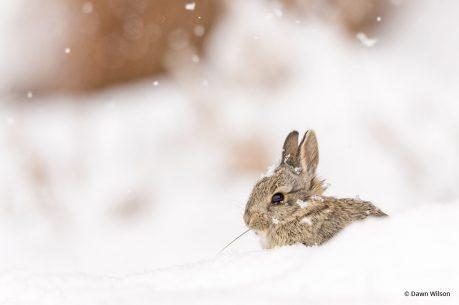 """Today's Photo Of The Day is """"Bunny in the Snow"""" by Dawn Wilson. Location: Loveland, Colorado."""