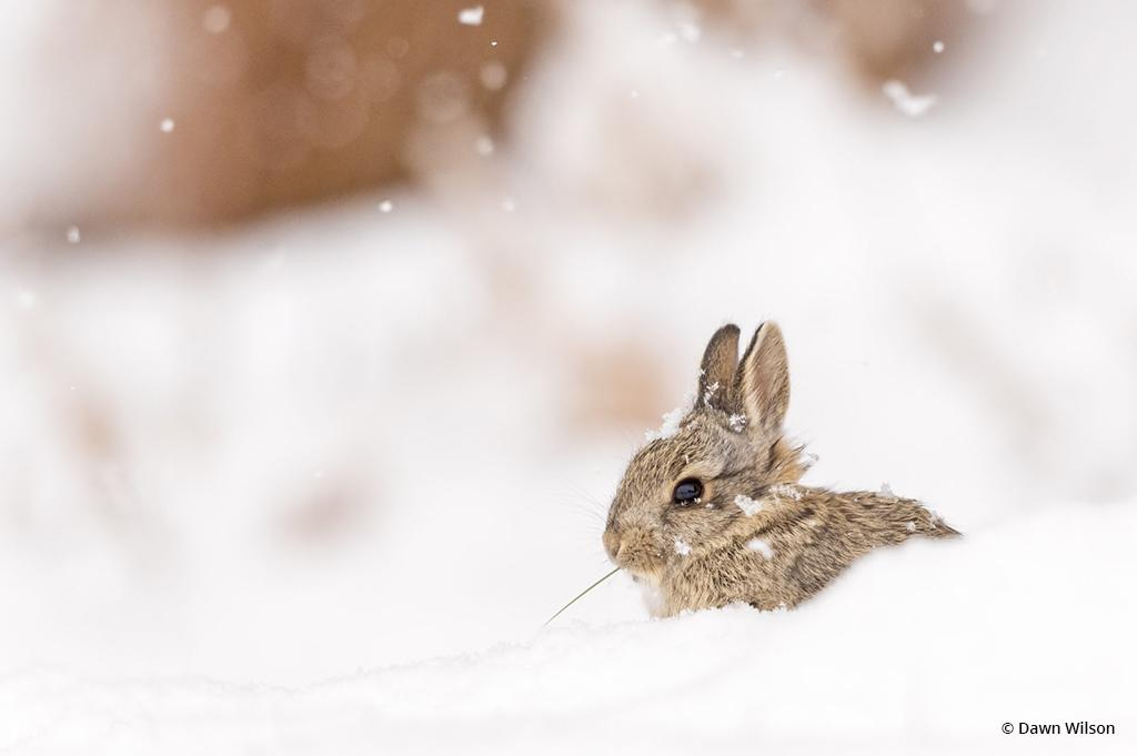 "Today's Photo Of The Day is ""Bunny in the Snow"" by Dawn Wilson. Location: Loveland, Colorado."
