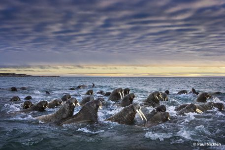 paul nicklen born to ice walrus