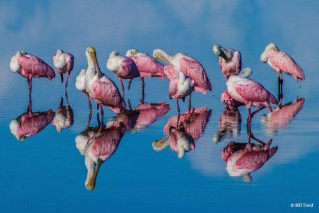 """Today's Photo Of The Day is """"Rosette Spoonbills with Reflections From Early Morning Light."""" Location: Fort Myers Beach, Florida."""