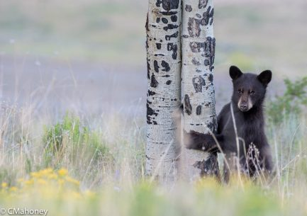 """Today's Photo Of The Day is """"Bear Cub"""" by Conni Mahoney. Location: Crested Butte, Colorado."""