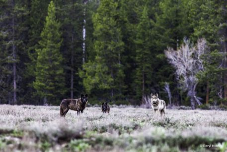 """Today's Photo Of The Day is """"Hungry Wolves"""" by Daryl Hunter. Location: Grand Teton National Park, Wyoming."""