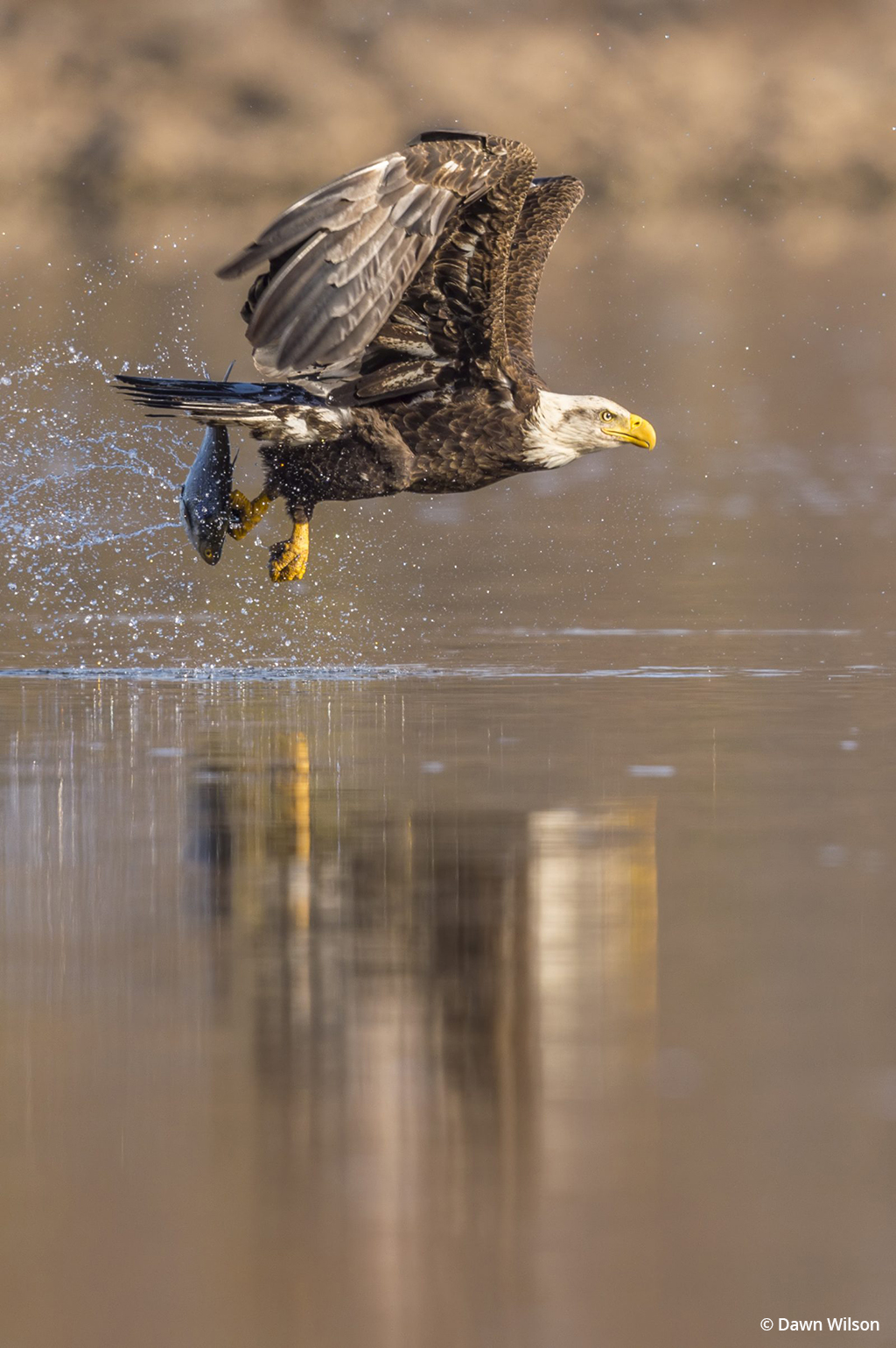 "Today's Photo Of The Day is ""Bald Eagle and Fish 12"" by Dawn Wilson. Location: Darlington, Maryland."