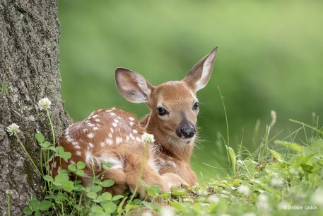 """Today's Photo Of The Day is """"Resting Fawn"""" by Debbie Quick. Location: New York."""