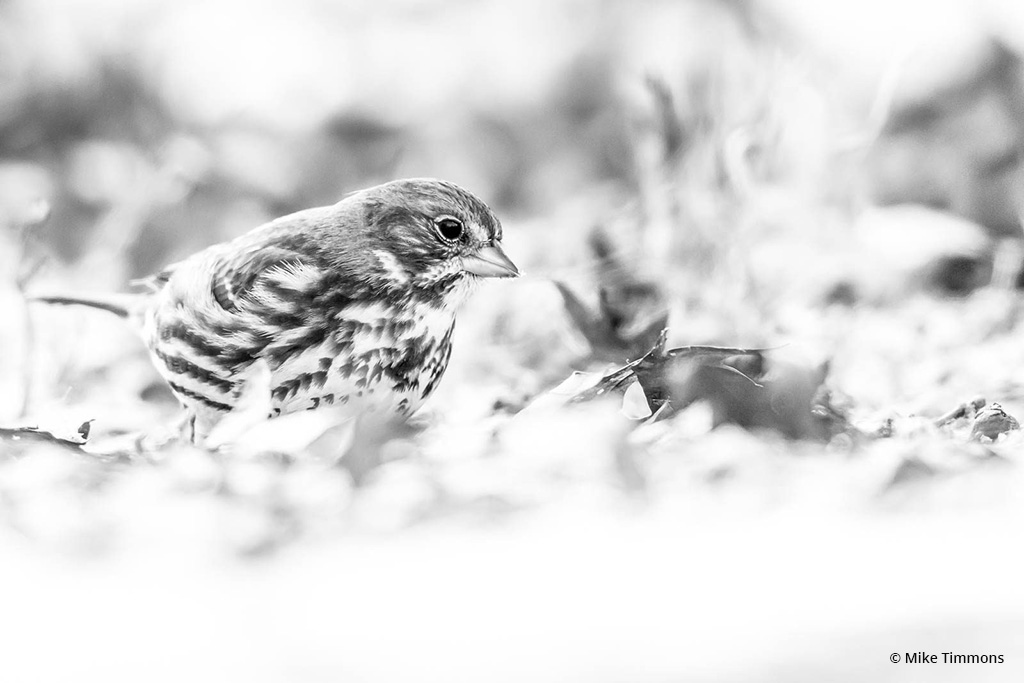 "Today's Photo Of The Day is ""Fox Sparrow"" by Mike Timmons. Location: Eagle Creek Park, Indianapolis, Indiana."